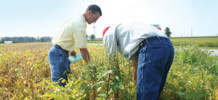 Scouting Weeds Insects