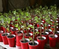 Tree planting program, CPS