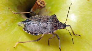 Experts Weigh In On Managing Soybean Insects