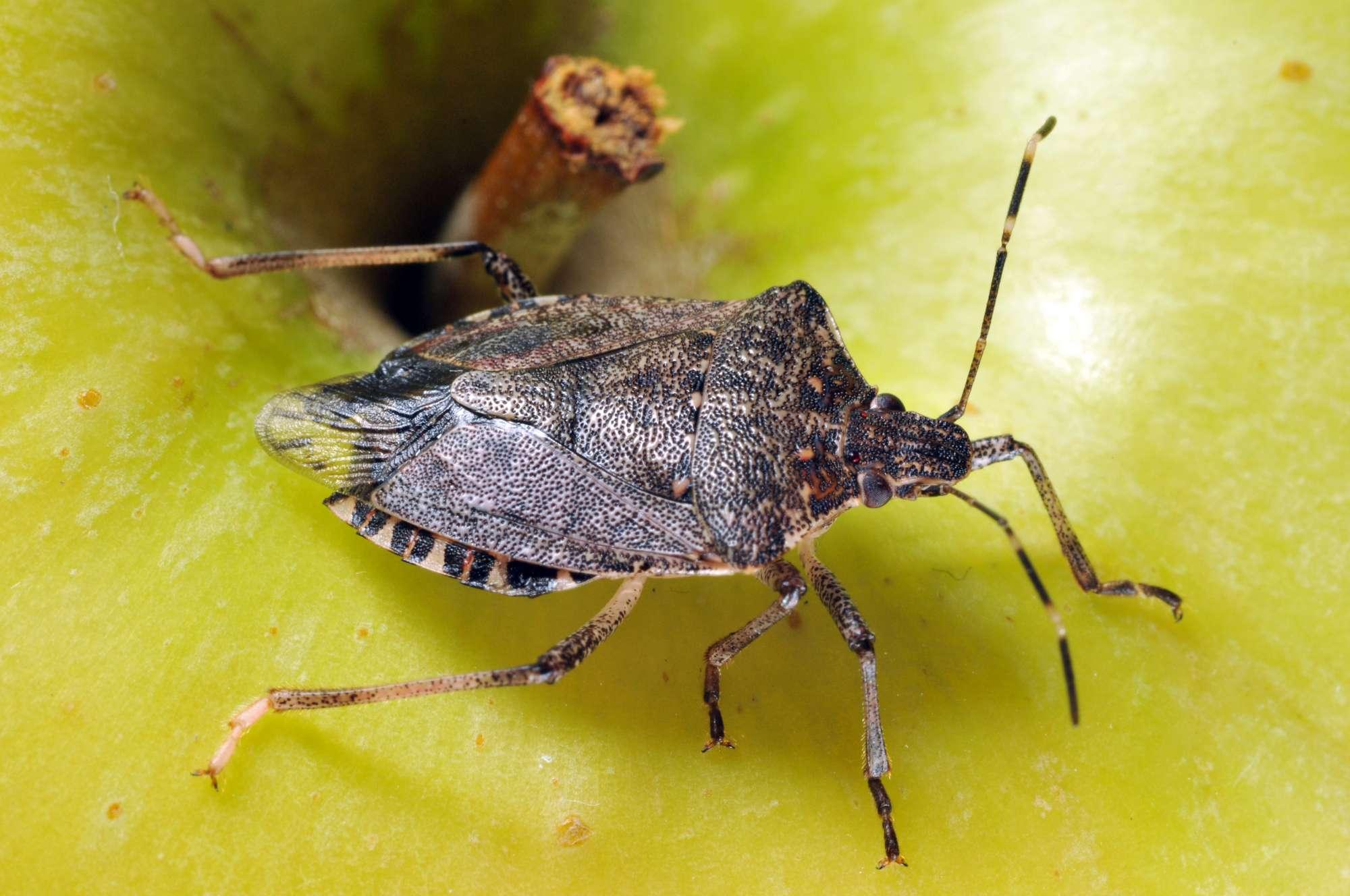 Invasive Stink Bug Confirmed In Iowa Croplife