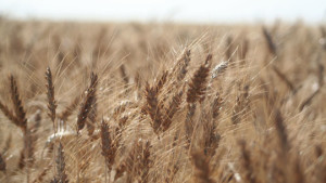 Collaboration Launches New Wheat Varieties for the CoAXium Wheat Production System