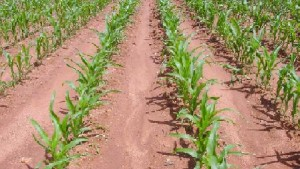 DuPont, Advanta Sign Sorghum Trait Commercialization Deal