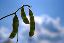 Genuity Roundup Ready 2 Yield Soybean