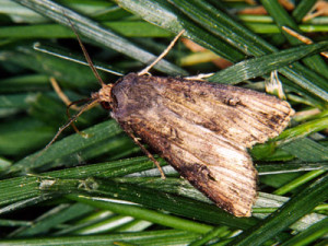 Black cutworm moths are carried by winds in the spring to farm fields.