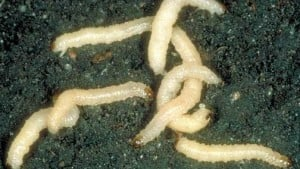 Marrone Bio Innovations Receives Patent For Chromobacterium To Control Corn Rootworm Larvae