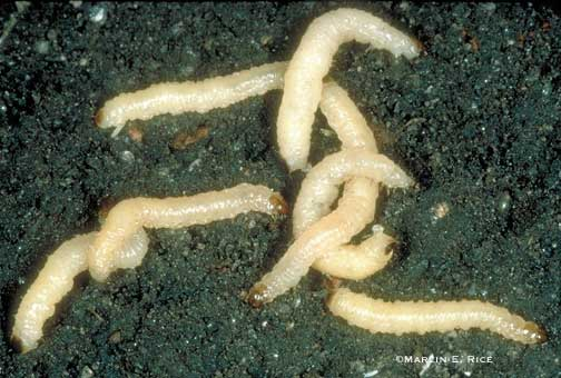 Monsanto, MSU Extend Support Of Corn Rootworm Program