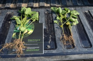 These soybean plants, grown by Wolf Trax Inc. in a field trial, show that PROTINUS-treated soybeans, left, had larger, more developed seedlings than the control plants, right.