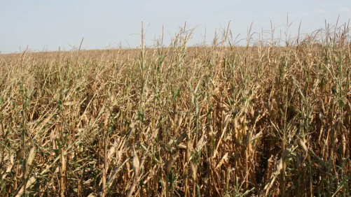 2012 Drought Corn