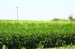 Many Midwestern fields now sport herbicide-resistant waterhemp, and the problem is getting worse.