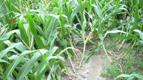 Corn rootworm lodging