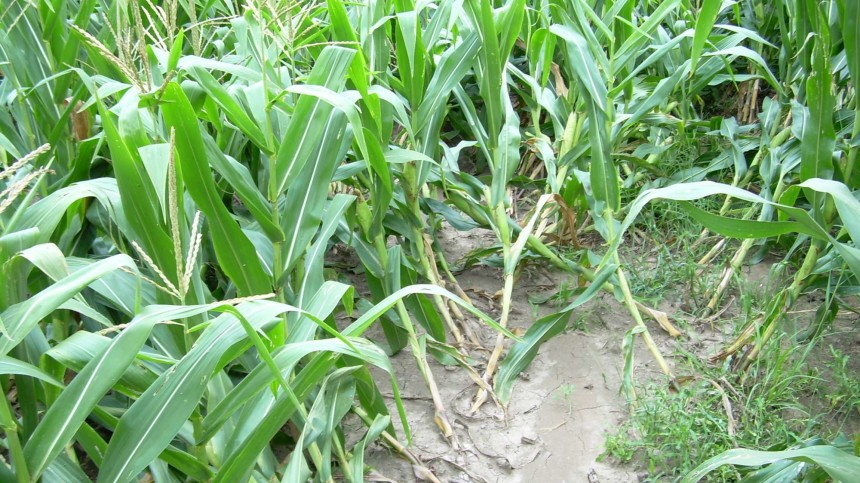 FMC Corp. Introduces New Tool in Battle Against Resistant Corn Rootworms