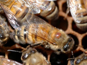 A honeybee that has acquired a Varroa mite companion. (Photo Courtesy Bayer CropScience)
