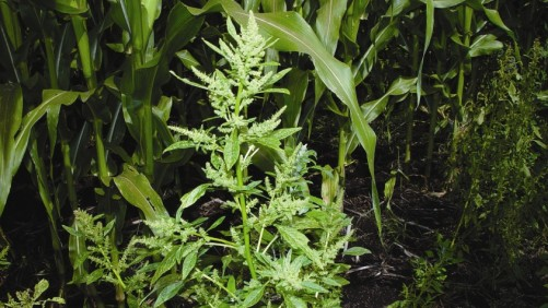 Mature Waterhemp in Corn