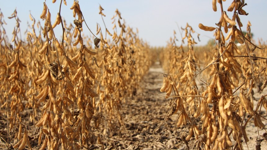 MSU Expert: Soybean Seed Applied Inoculant Best Practices