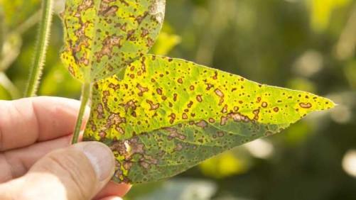 Frogeye Leaf Spot on soybeans.