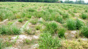 Fall Herbicide Applications More Effectively Manage Resistant Italian Ryegrass