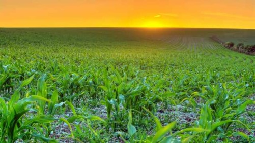Corn Field with Sunset