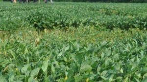 Sudden Death Syndrome Appearing in Soybeans