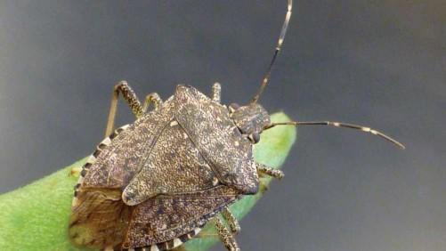 Brown Marmorated Stink Bug Adult Photo credit: Adam Sisson