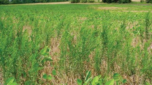 Marestail in soybean stubble