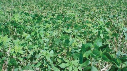Palmer pigweed in soybean stubble