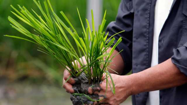 BASF Develops New Herbicide-Tolerant Rice System