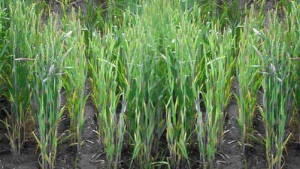 Arysta Touts Burndown Herbicide For Brome Management In Wheat