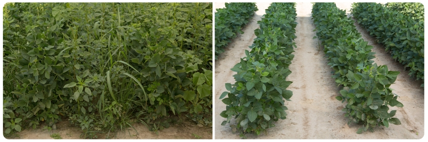 Compared with the untreated plot (left), a weed control program of Sonic herbicide followed by Enlist Duo herbicide provides exceptional control of tough weeds such as Palmer amaranth.