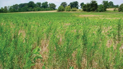 Marestail in soybean stubble