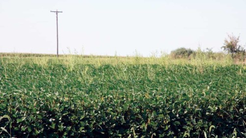 A Midwest field infested with waterhemp.