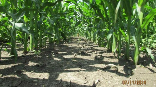 Acuron Herbicide Trials in Dublin, OH