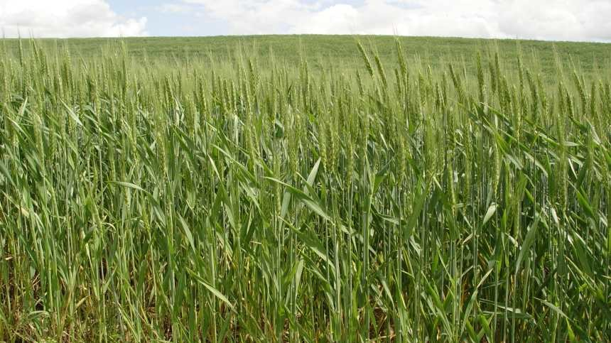 New Technology Offers ALS-Resistant Weed Control In Wheat