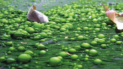 Eutrophication is the ecosystem response to the addition of artificial or natural substances, mainly phosphates, through detergents, fertilizers, or sewage, to an aquatic system.