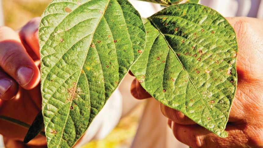 Frogeye Leaf Spot on soybean