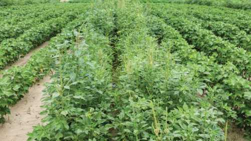 RR2X soybeans surround untreated check (center)