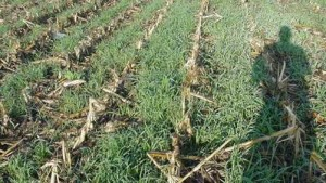 Cover Crops Intended For Forage Require Careful Herbicide Use