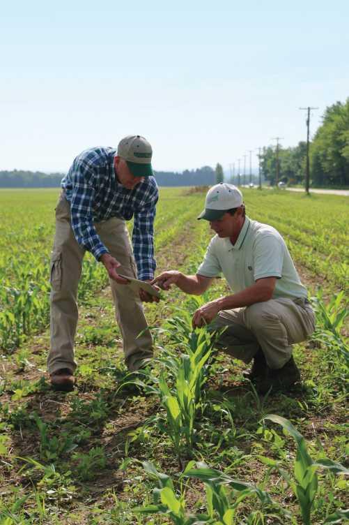 Scouting in corn field