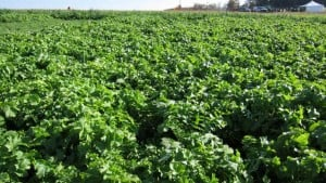 Survey: Cover Crops Boost Yield and Weed Control
