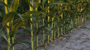 More Efficient Crops With Less Fertilizer, Higher Yields