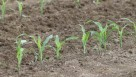 Young corn plants in soil