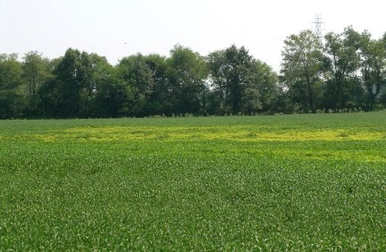 A soybean field showing symptoms of soybean cyst nematode (SCN) Photo courtesy Jamal Faghihi