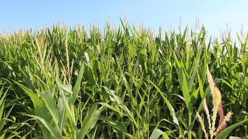 Corn 2015 Minnesota