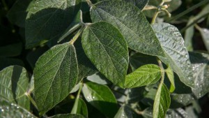 Soybean Closeup