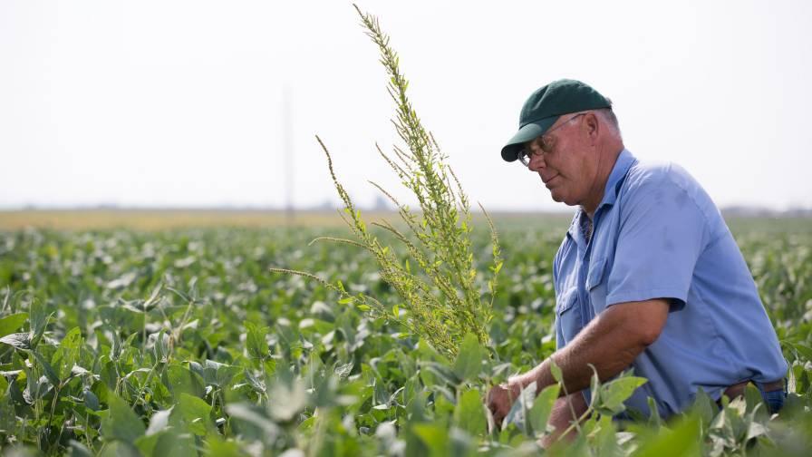 Farmer Scouting Weeds in Soybean Field
