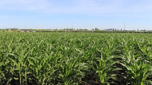 corn grown for seed University of Illinois Field Day 2014