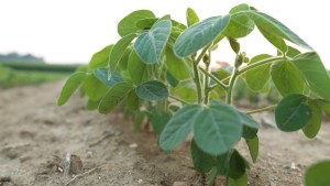 Soybean Plant closeup