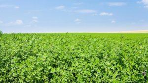 Study: Aspire with Boron Ups Alfalfa Yields