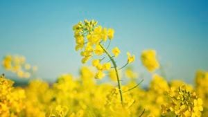 Hungry Canola – Feeding your bottom line