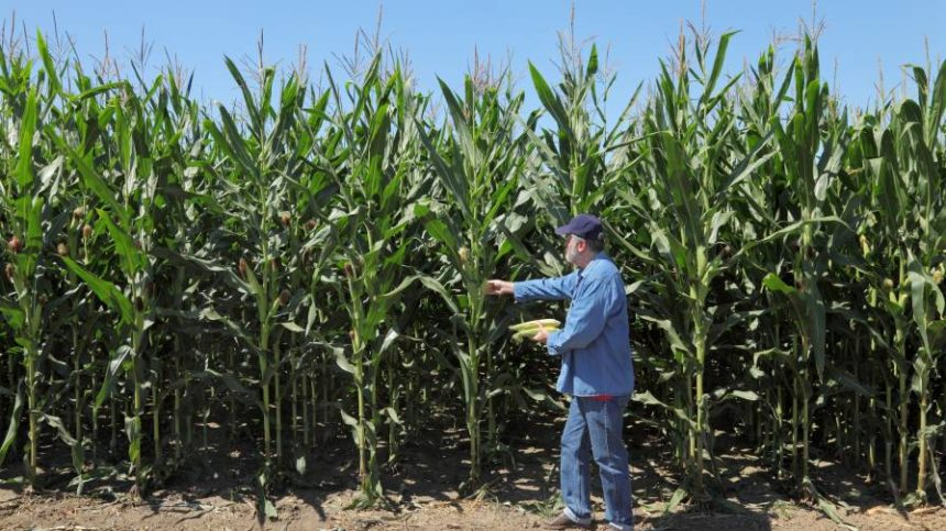 Mosaic: 6 Tips For Better Crop Nutrition In Corn