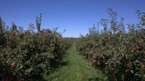 honey crisp apple orchard